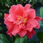 Camellia japonica Mark Alan (3)