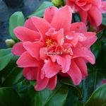 Camellia japonica Mark Alan (4)