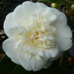 Camellia japonica Nobilissima (5)