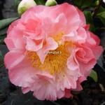 Camellia japonica Nuccios Jewel (2)