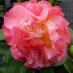 Camellia japonica Nuccios Jewel (3)
