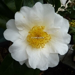 Camellia japonica Silver Waves (10)