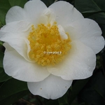 Camellia japonica Silver Waves (3)
