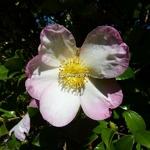 Camellia sasanqua Rainbow (2)