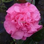Camellia williamsii Debbie