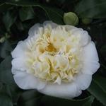 Camellia williamsii Jurys Yellow (1)
