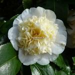 Camellia williamsii Jurys Yellow (4)