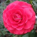 Camellia x Black Lace (1)