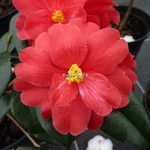 Camellia x Freedom Bell (3)