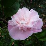 Camellia x High Fragrance (15)