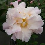 Camellia x High Fragrance (17)