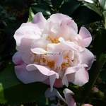 Camellia x High Fragrance (21)