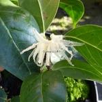 Chimonanthus nitens