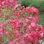 Euonymus alatus Compactus (2)
