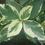 Hydrangea macrophylla Tricolor (3)