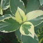 Hydrangea macrophylla Tricolor (4)