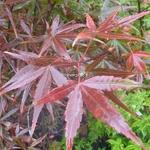 Acer palmatum Beni Otake (1)