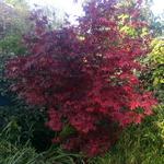 Acer palmatum Bloodgood (2)