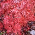 Acer palmatum dissectum Garnet (5)