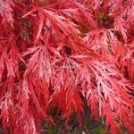 Acer palmatum dissectum Garnet (1)