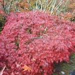 Acer palmatum dissectum Garnet (2)