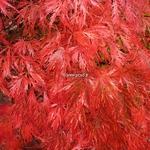 Acer palmatum dissectum Garnet (3)