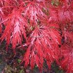 Acer palmatum dissectum Garnet (4)
