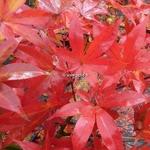 Acer palmatum Osakazuki (1)