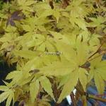 Acer palmatum Sangokaku (1)