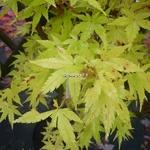 Acer palmatum Sangokaku (2)