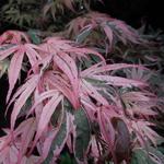Acer palmatum Shirazz (1)