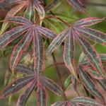 Acer palmatum Shirazz (3)