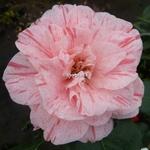 Camellia japonica Carter's Sunburst (2)