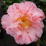 Camellia japonica Carters Sunburst