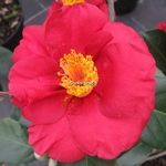 Camellia japonica San Dimas (1)
