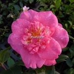 Camellia sasanqua Belinda (4)