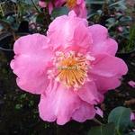 Camellia sasanqua Belinda (5)