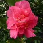 Camellia sasanqua Bonanza (2)