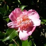 Camellia sasanqua Choji Guruma (18)