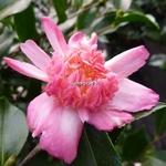 Camellia sasanqua Choji Guruma (2)