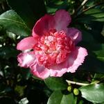 Camellia sasanqua Choji Guruma (4)