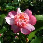 Camellia sasanqua Choji Guruma (7)