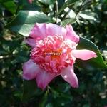 Camellia sasanqua Choji Guruma (9)