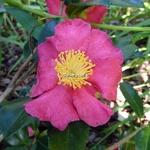 Camellia sasanqua Crimson King (1)