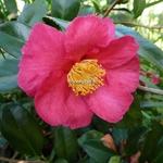 Camellia sasanqua Crimson King (3)