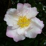 Camellia sasanqua Day Dream (2)