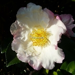 Camellia sasanqua Day Dream (3)
