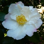 Camellia sasanqua Day Dream (4)