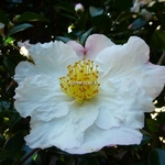 Camellia sasanqua Day Dream (7)