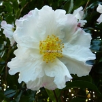 Camellia sasanqua Day Dream (8)